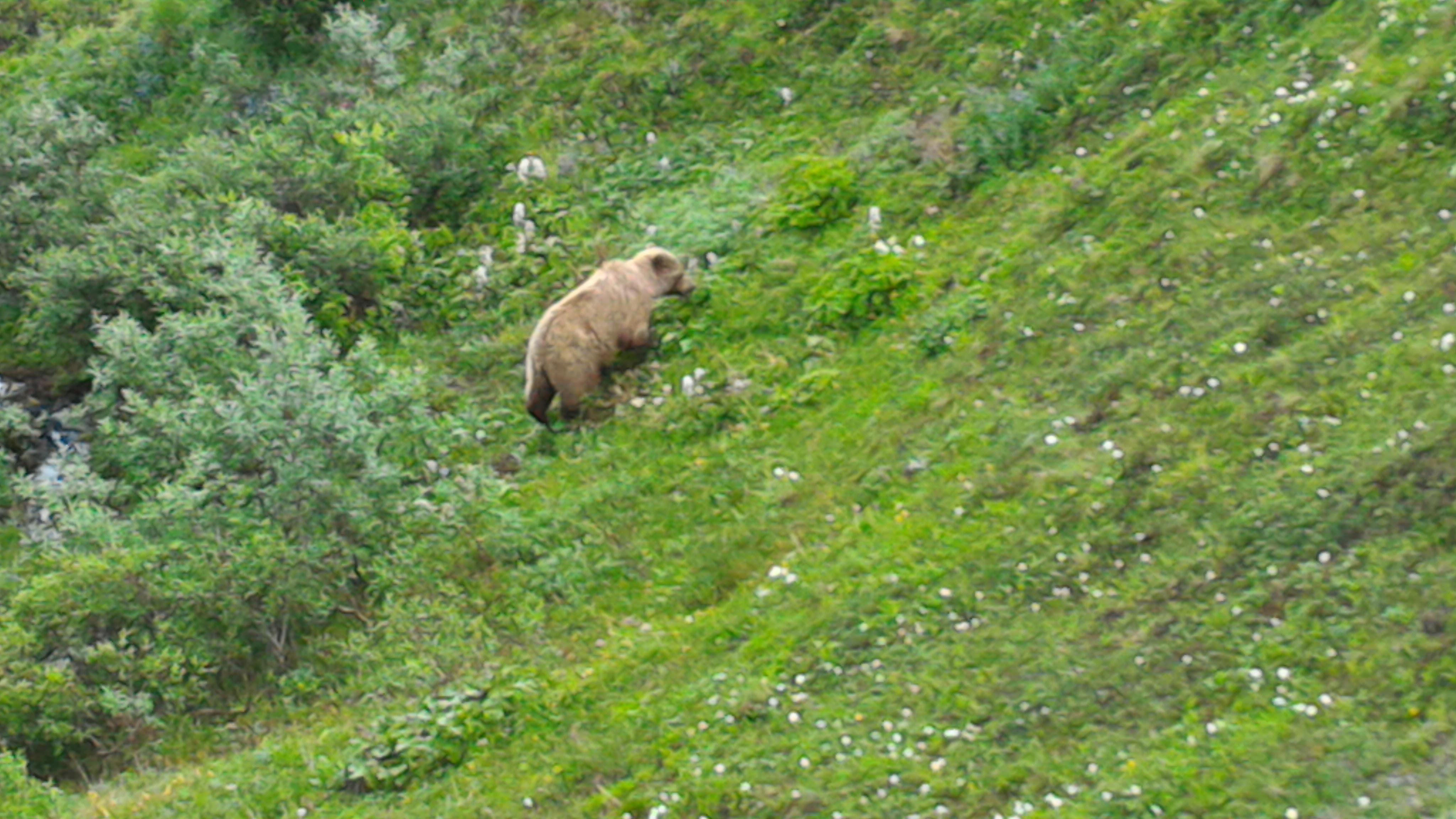 デナリ 熊